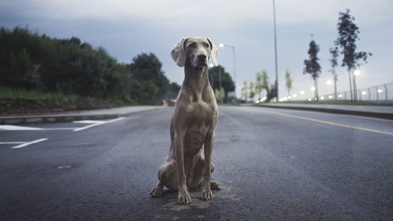 ¿Han atropellado a tu perro? Cómo actuar