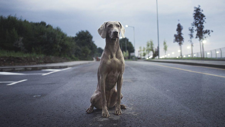 Atropello de animales domésticos: ¿Cómo debes actuar?